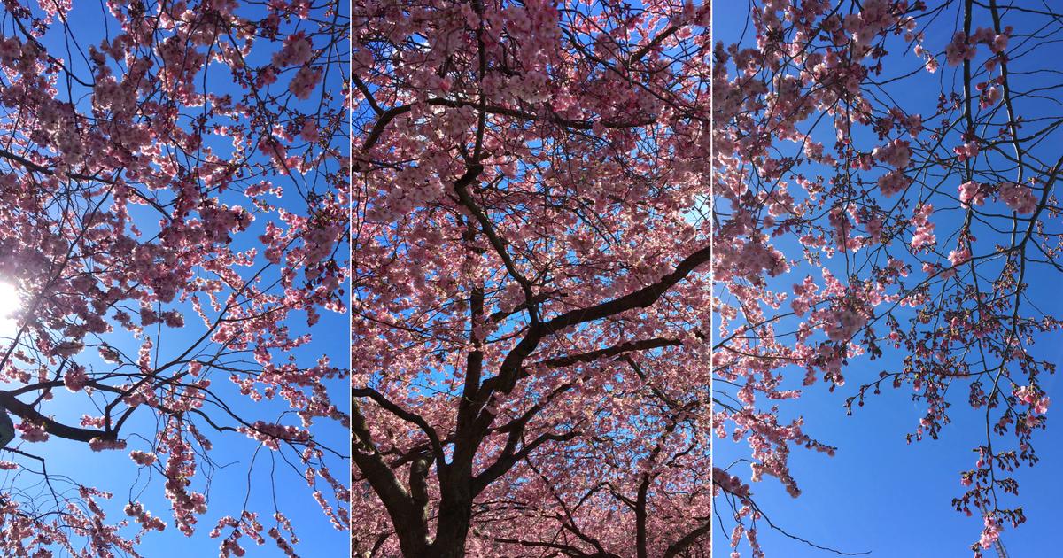 Kungsträdgården körbärsträd